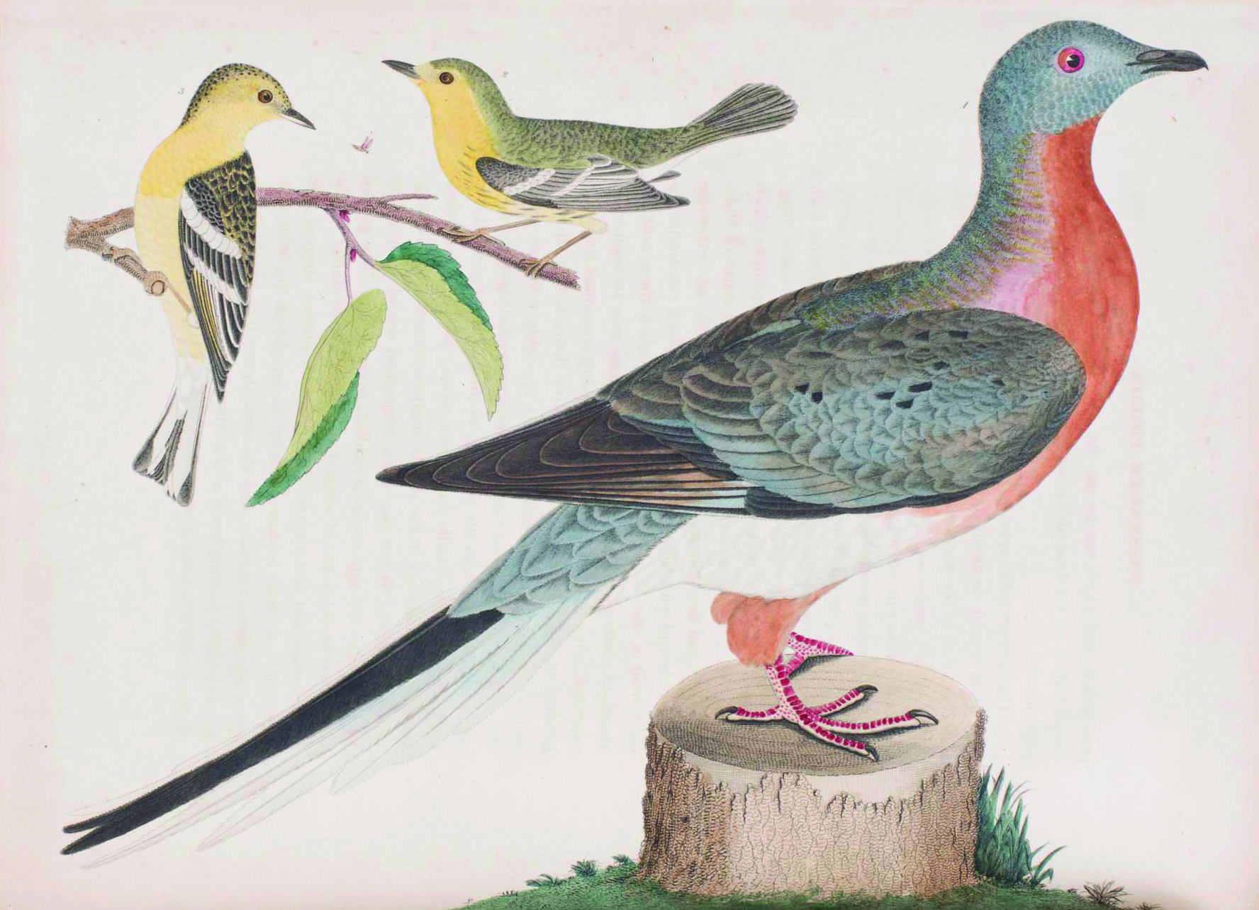 Blackburnian Warbler, from American Ornithology