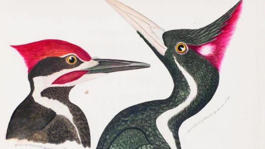 Alexander Wilson (American, born Scotland, 1766–1813), Plate 29: Ivory-billed Woodpecker, Pileated Woodpecker from American Ornithology; or The Natural History of the Birds of the United States, vol. 4. Hand-colored etching and engravings 1811. 13 3/4 x 1