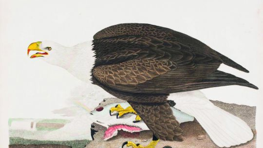 Alexander Wilson (American, born Scotland, 1766–1813), Plate 36: Bald Eagle, from American Ornithology; or The Natural History of the Birds of the United States, vol. 4. Hand-colored etching and engraving with letterpress, 1811. 10 3/8 x 13 3/4 in. (26.4