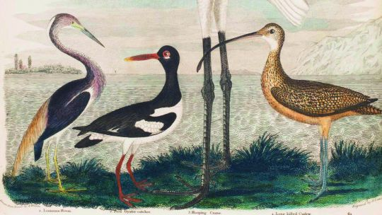 Alexander Wilson (American, born Scotland, 1766–1813), Plate 64: Tricolored Heron, Oystercatcher, Whooping Crane, Long-billed Curlew, from American Ornithology; or The Natural History of the Birds of the United States, vol. 8. Hand-colored etching and eng