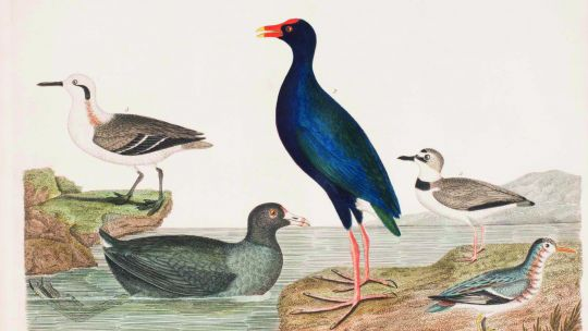 Alexander Wilson (American, born Scotland, 1766–1813), Plate 73: American Coot, Common Gallinule/Moorhen, Wilson's Phalarope, Red Phalarope, Wilson's Plover, from American Ornithology; or The Natural History of the Birds of the United States, vol. 9. Hand