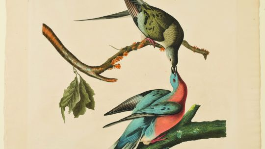 John James Audubon (American, 1785–1851), Plate 62: The Passenger Pigeon, from Birds of America. Hand-colored etching with aquatint, 1829. 30 3/16 x 26 1/8 in. (76.6 x 66.4 cm). Toledo Museum of Art, Museum Purchase, 1921.112